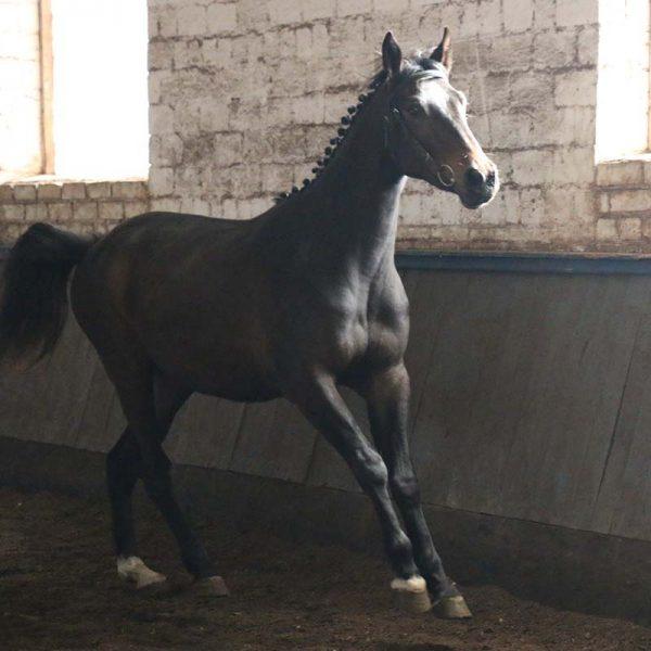 лошадь тейфи фото